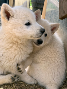 white-swiss-wolfdog-litter_190426 (15).j