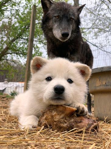 white-swiss-wolfdog-litter_190426 (5).jp