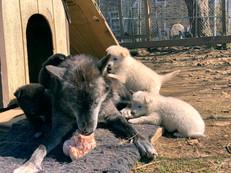 white-swiss-wolfdog-litter_190415 (5).jp