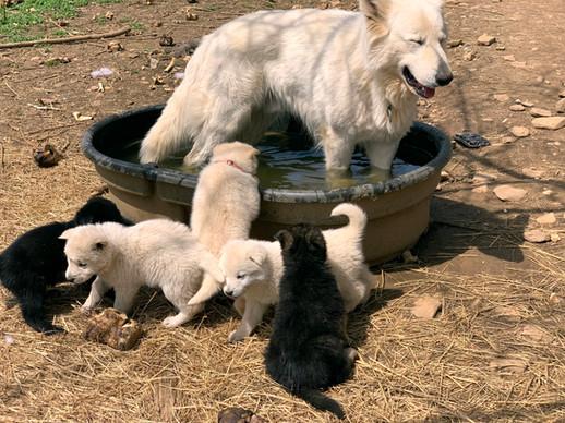 white-swiss-wolfdog-litter_190415 (9).jp