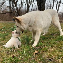 Sage the Berger Blanc Suisse Puppy