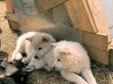 white-swiss-wolfdog-litter_190426 (1).jp