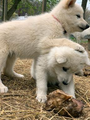 white-swiss-wolfdog-litter_190426 (6).jp