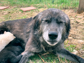furiosa-the-wolfdog-in-NJ (15).jpg