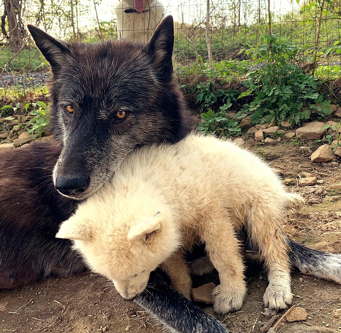 furiosa-the-wolfdog-in-NJ (22).jpg