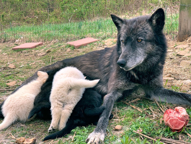 furiosa-the-wolfdog-in-NJ (14).jpg