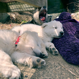 white-swiss-wolfdog-litter_190421 (5).jp