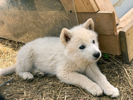white-swiss-wolfdog-litter_190426 (19).j