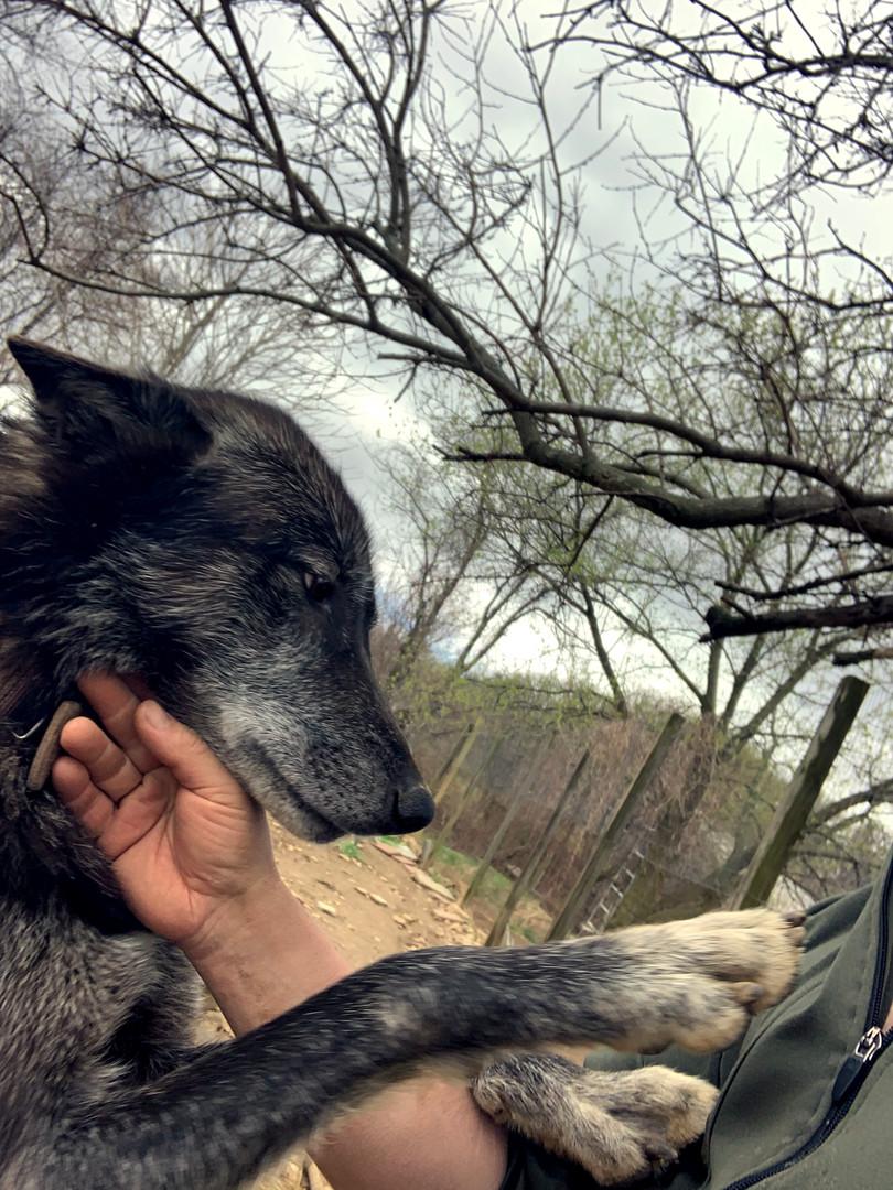 furiosa-the-wolfdog-in-NJ (7).jpg