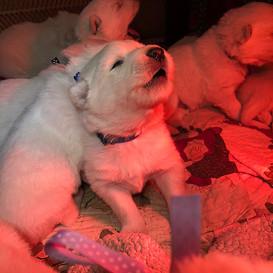 beast-berger-blanc-suisse-puppy-2-weeks-