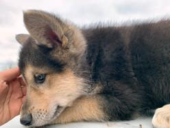 white-swiss-wolfdog-litter_190501 (2).jp