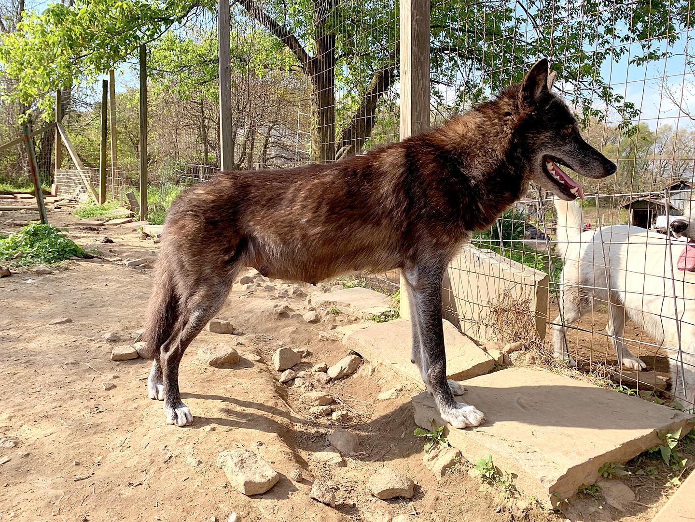 furiosa-the-wolfdog-in-NJ (5).jpg