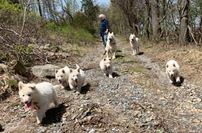 white-swiss-shepherd-litter-190221_19042