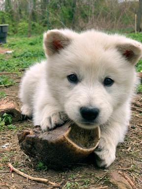 white-swiss-wolfdog-litter_190426 (8).jp