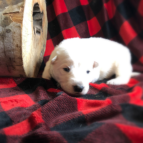 Aurora the Berger Blanc Suisse Puppy at Two Weeks