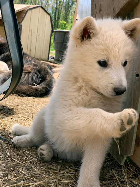 white-swiss-wolfdog-litter_190426 (18).j