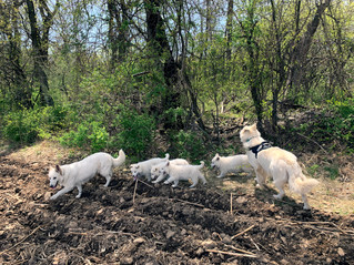 white-swiss-shepherd-litter-190221_19042