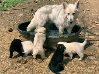 white-swiss-wolfdog-litter_190415 (8).jp