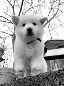 warlock-the-berger-blanc-suisse-puppy-at