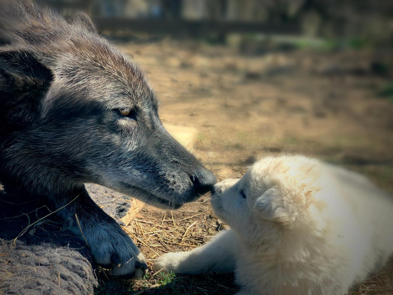 furiosa-the-wolfdog-in-NJ (12).jpg