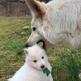 Sage the White Swiss Shepherd at five we