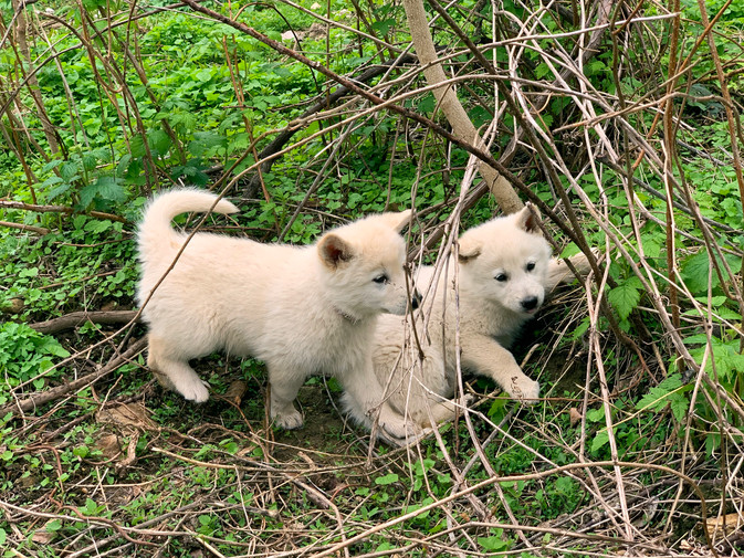 white-swiss-wolfdog-litter_190426 (10).j