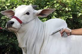 AFTOSA: Sindicato Rural alerta para segunda etapa da vacinação