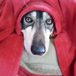 Inuit dog under red blanket
