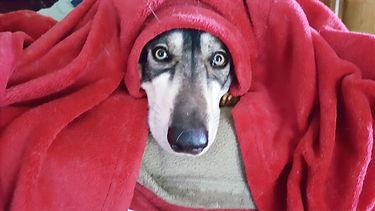 Inuit dog under a red blanket
