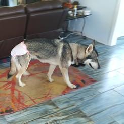 Inuit dog in living room