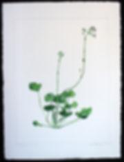 Agnes Murray, Pelargonium sidoides 01.jp
