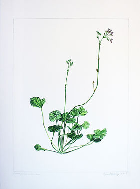 Agnes Murray, Pelargonium sidoides, 2019