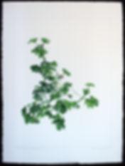 Agnes_Murray,_Pelargonium_Attar_of_Rose