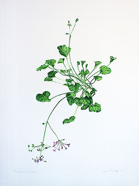 Agnes Murray, Pelargonium reniforme, 201