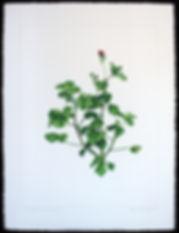 Agnes_Murray,_Pelargonium_Shrubland_Ros