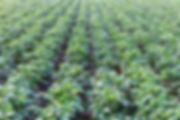 potato-P6M2SRS.jpg