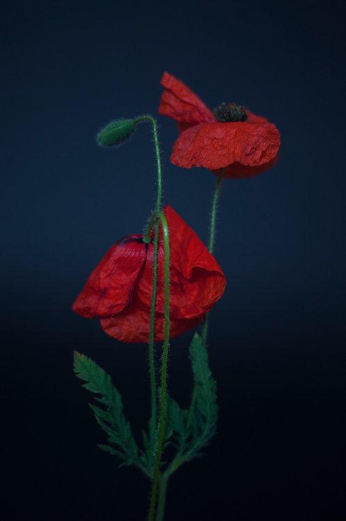 Morpheus - Poppies