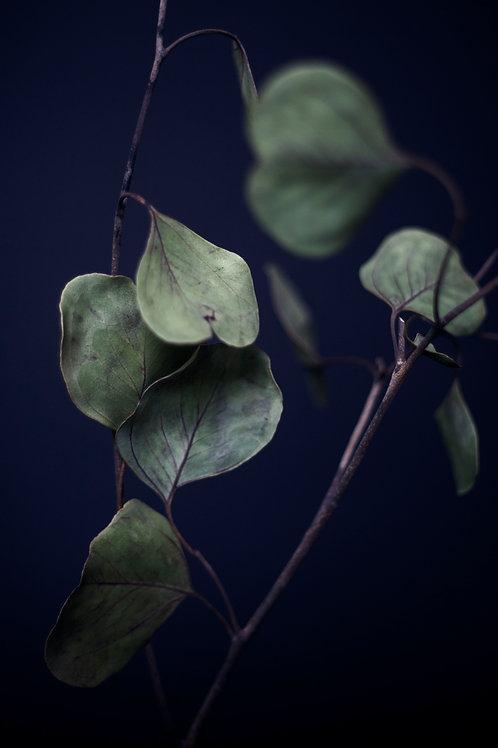 Pistis - Eucalyptus