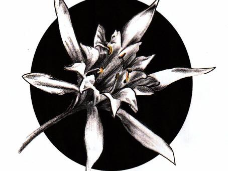 Tattoo symbols/Sea daffodil (Pancratium maritimum) flower
