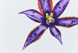 Thelymitra speciosa 1