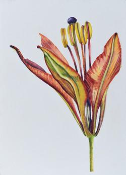 Lilium philadelphicum 2