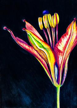 Lilium philadelphicum 3