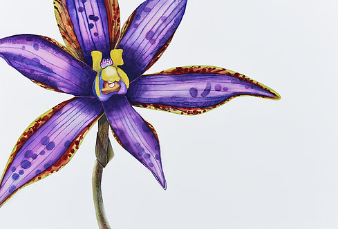 Eastern Queen of Sheba \ Thelymitra speciosa 2 \ Original Watercolour