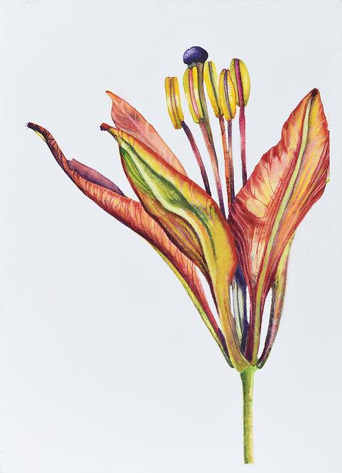 WOOD LILY Lilium philadelphicum L. var. philadelphicum 1