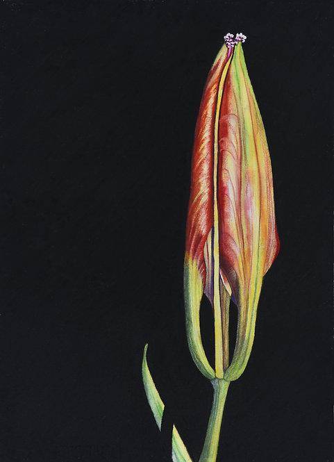 WOOD LILY BUD Lilium philadelphicum L. var. philadelphicum 1