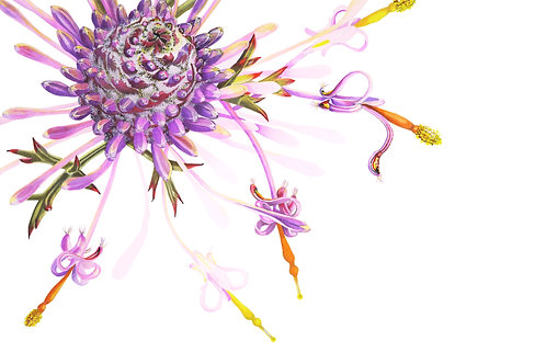 Rose Cone-flower\ Isopogon formosus 2 \ Original Watercolour