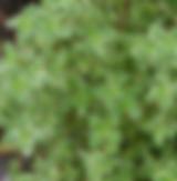 Thyme - lemon varigated.PNG