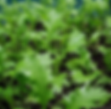 Mizuna - green.PNG