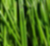 chives - garlic.PNG
