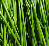 chives - garlic.PNG